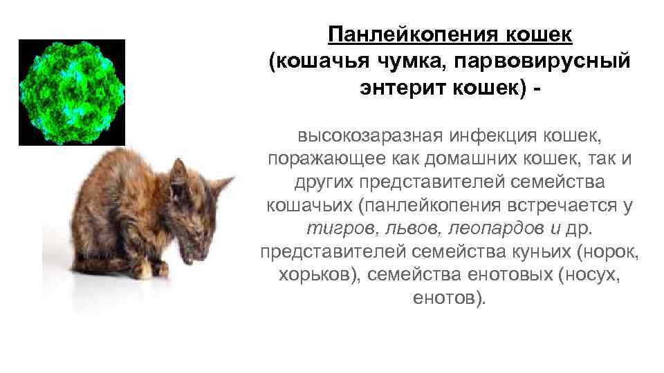 Опасна ли для человека коронавирусная инфекция у кошек: как передаётся