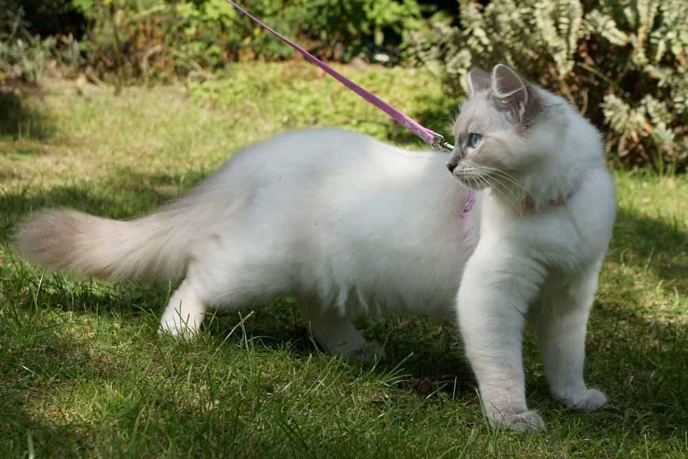 Как правильно выбрать котенка породы рэгдолл