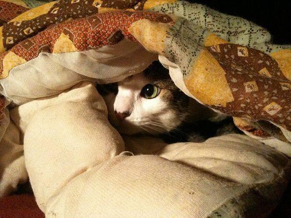 Почему кошка сосет одеяло: чем опасно, как отучить