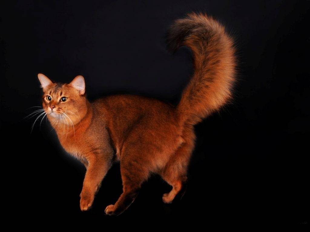 Кошки бобтейл: особенности видов и пород, характер, уход, фото, видео
