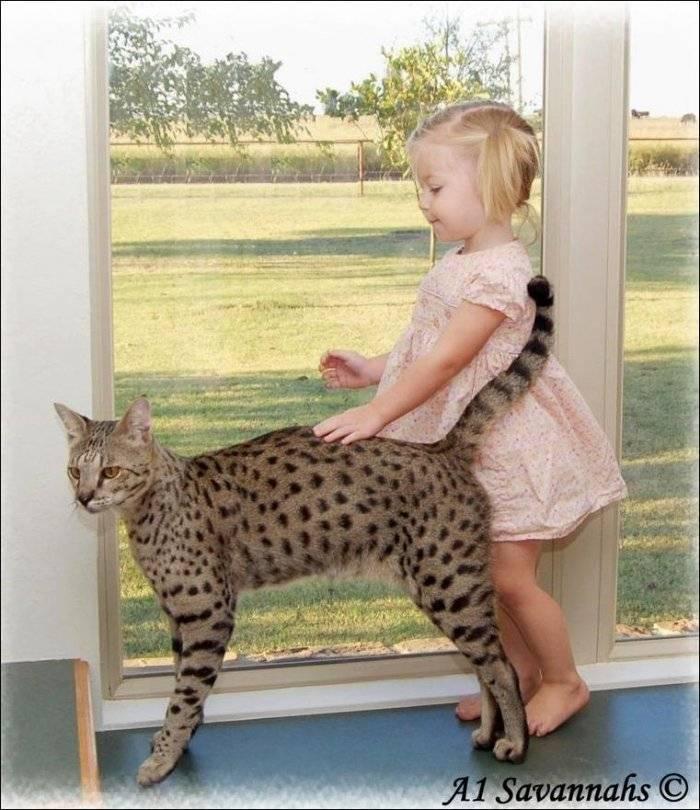 Рейтинг самых больших кошек в мире