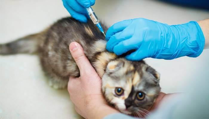 Вакцинация кошек: рекомендации и график