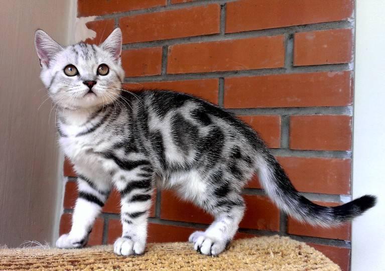 Какие породы кошек участвуют в рекламе вискас? шотландские прямоухие кошки