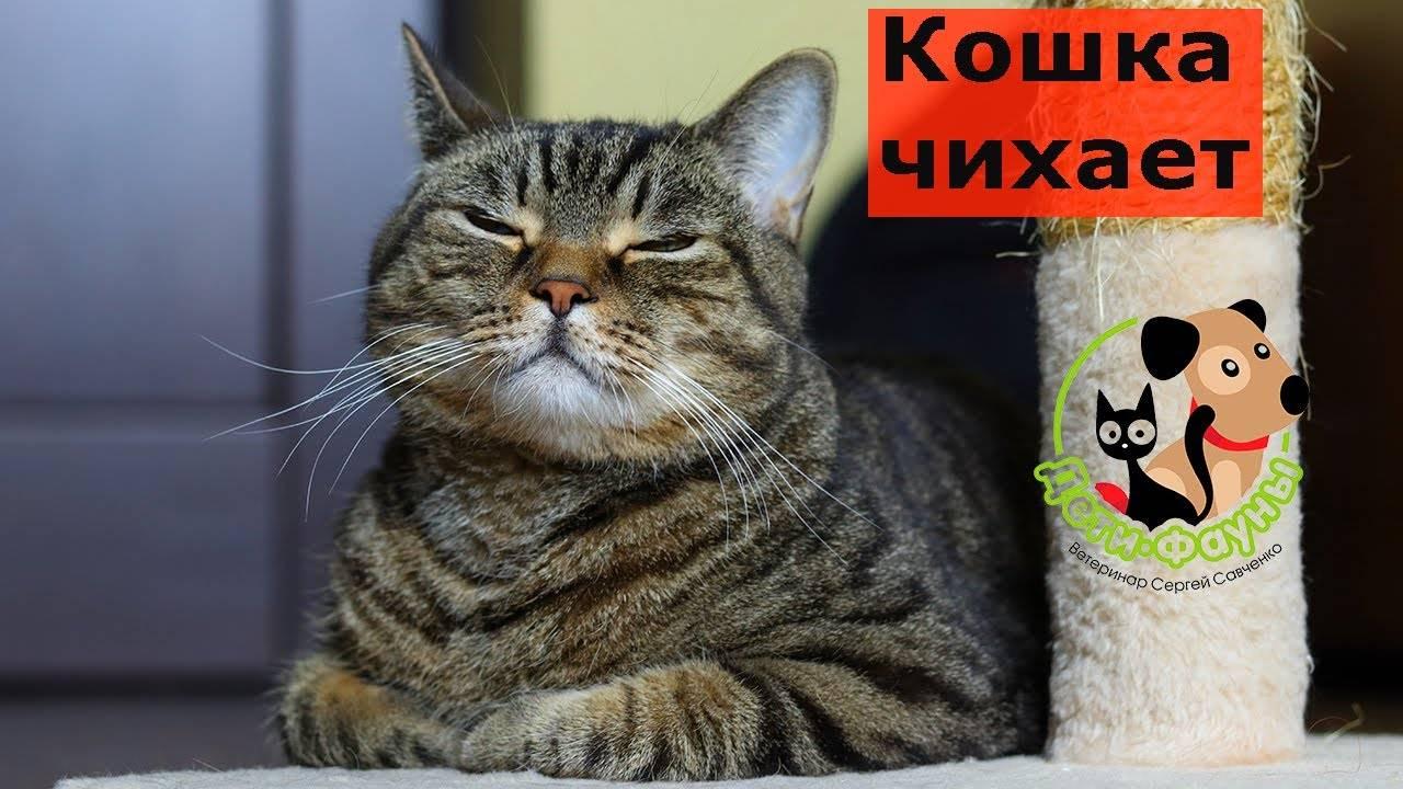 Что делать, если котенок чихает? всё ли в порядке? - lifeo.ru