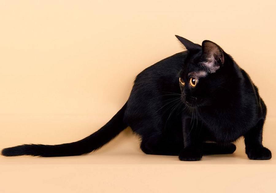 Бомбейская кошка: история породы, описание, характер, советы по содержанию и уходу, фото