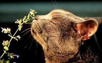 Как кошачья мята действует на кошек? для чего используется