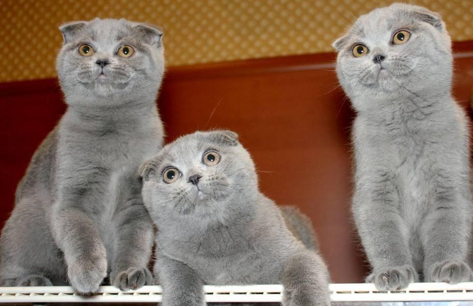Чем отличаются британские кошки от шотландских, разница пород.