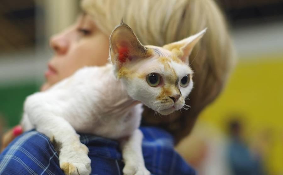Кошка породы девон рекс — описание, характер и особенности умной короткошерстной кошки (135 фото)