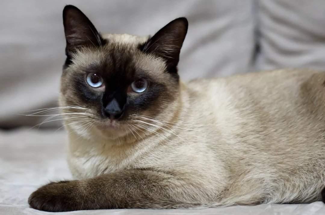 Тайская кошка: история породы, характерные черты, уход и разведение