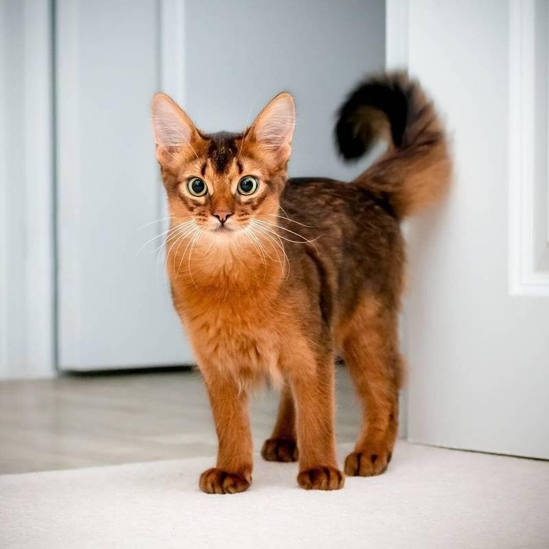 Сомалийская кошка: описание породы, характер, происхождение, особенности внешнего вида, ухода и содержания, фото