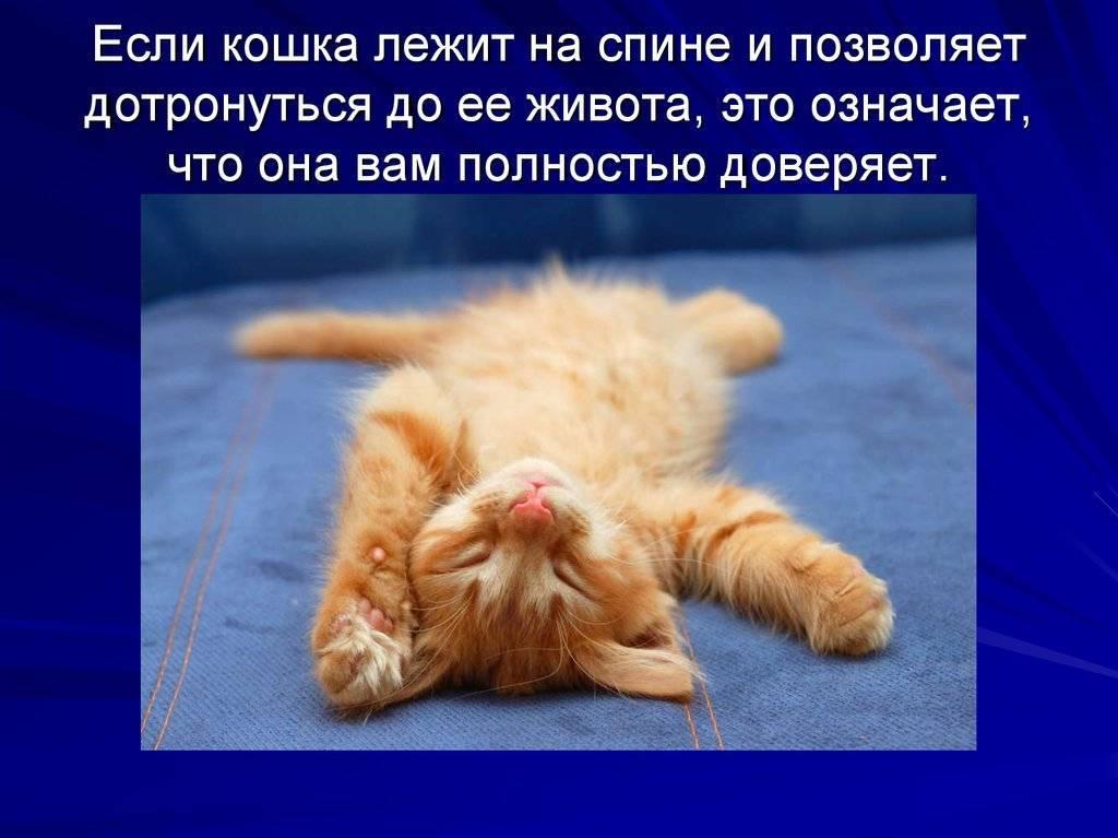 Кошка катается на спине