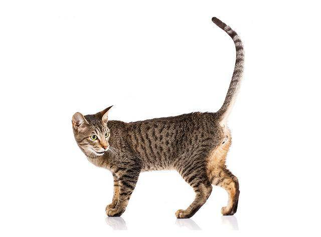 Серенгети: описание породы, характер и повадки кошки, особенности ухода, фото, отзывы владельцев
