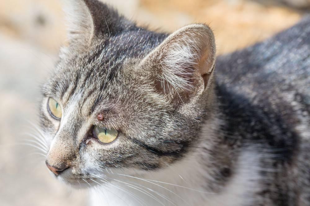 У кота на ухе выпала шерсть — у кошки лысеют уши, что это?