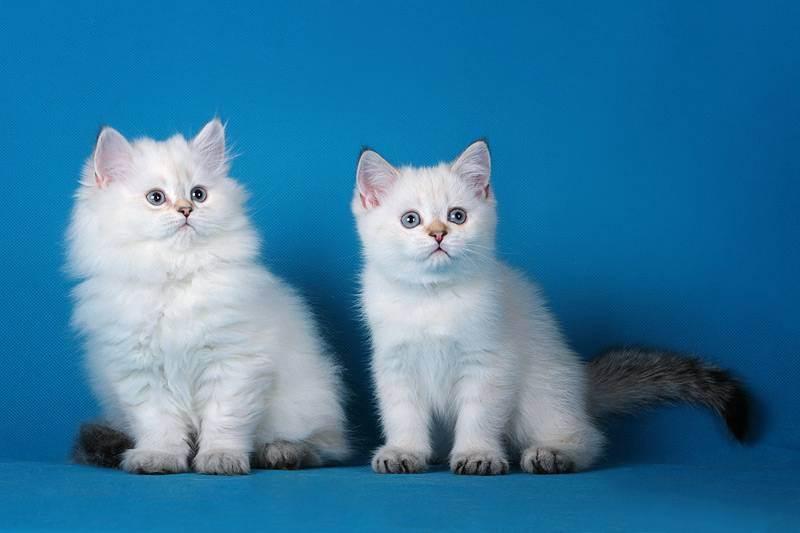 Британская шиншилла: варианты окраса кошек, характер и содержание