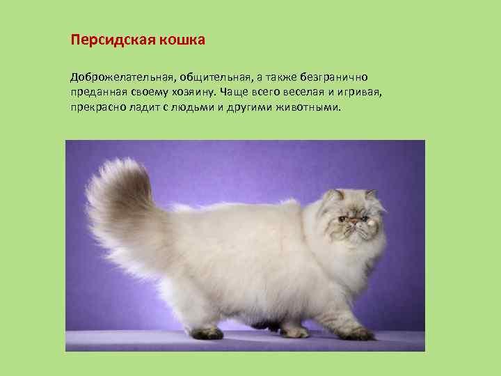 Персидская кошка (99 фото): как выглядит кот породы перс и каков его характер? корм для котят, описание черных, серых и голубых персидских кошек