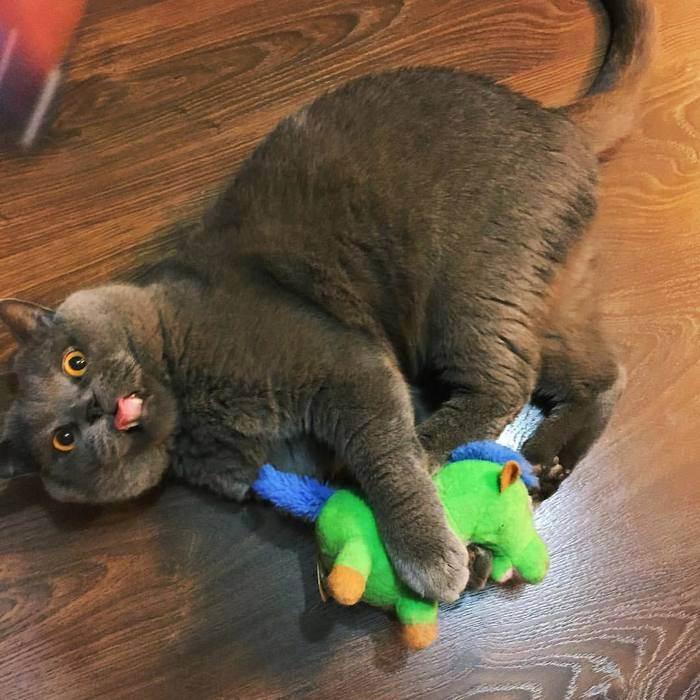 Характер британской кошки: английская надменность или ласковая плюшка?