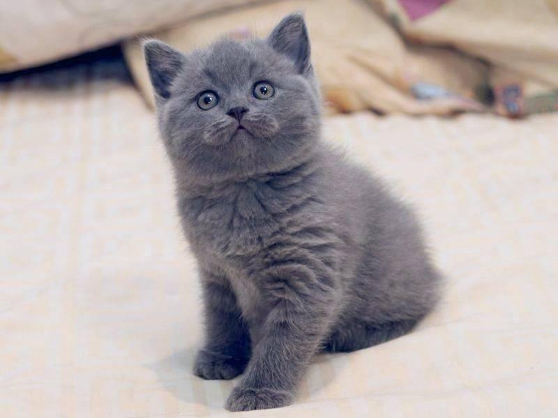 Сколько стоит британская кошка?