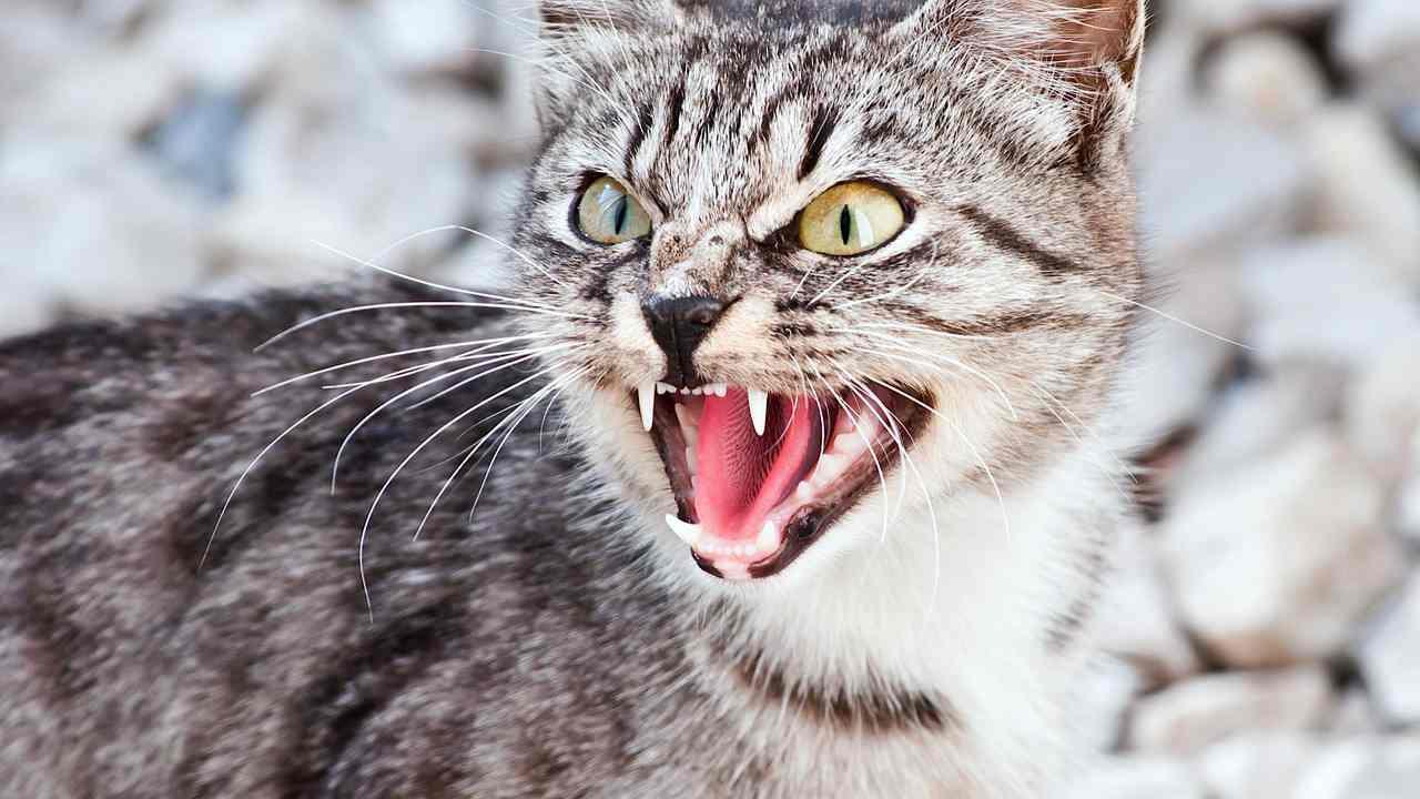 Агрессивное поведение кошки: почему кот или котенок кусается и нападает?