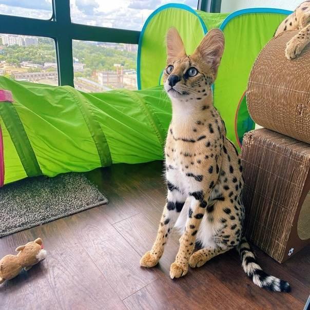 Сервал кошка: описание породы