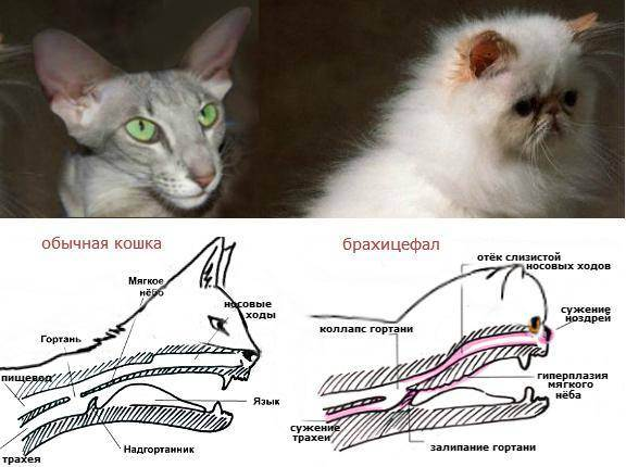 Лечение брахицефалического синдрома у кошек | толстый лори
