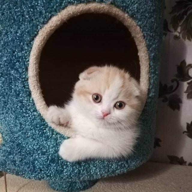 Почему у вислоухого кота выпрямились уши