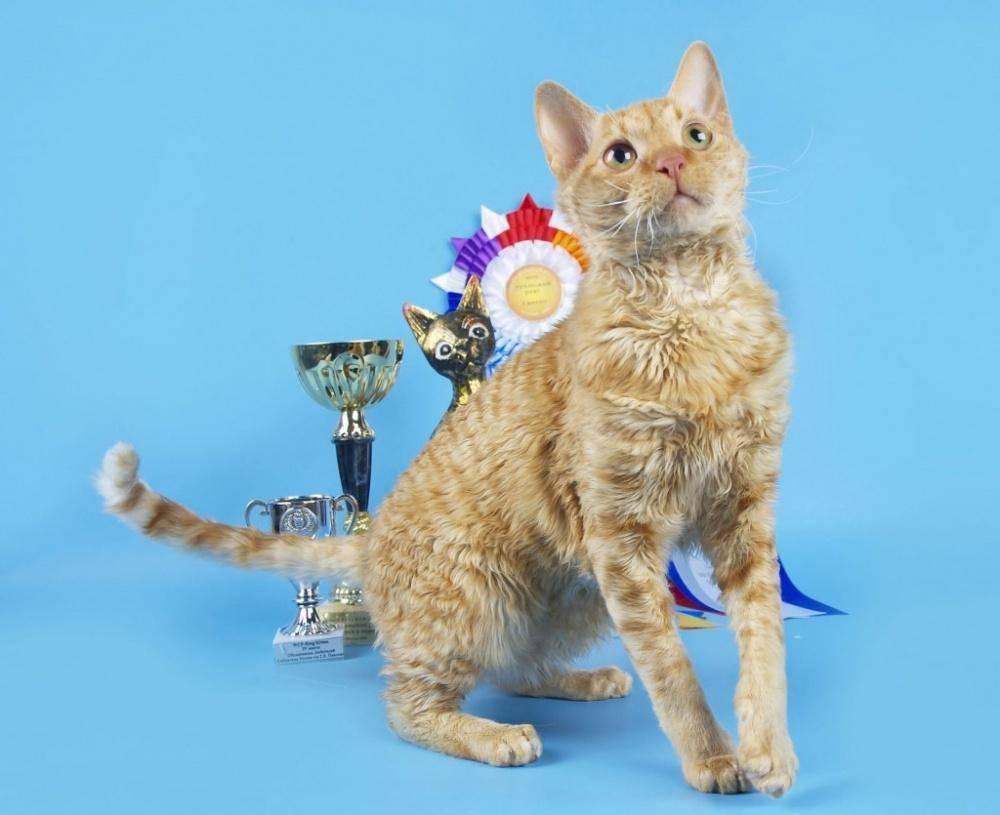 Селкирк рекс — фото кошки, цена, описание породы, нрав и содержание породы (80 фото + видео)