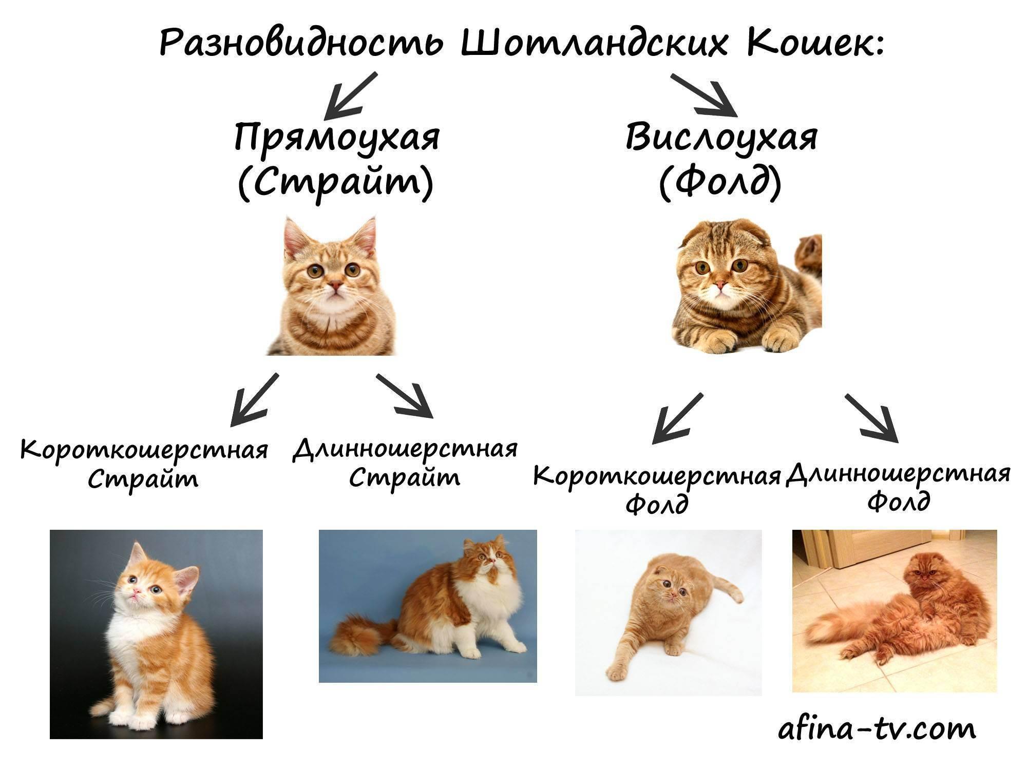 Шотландские кошки: виды породы, особенности содержания и воспитания