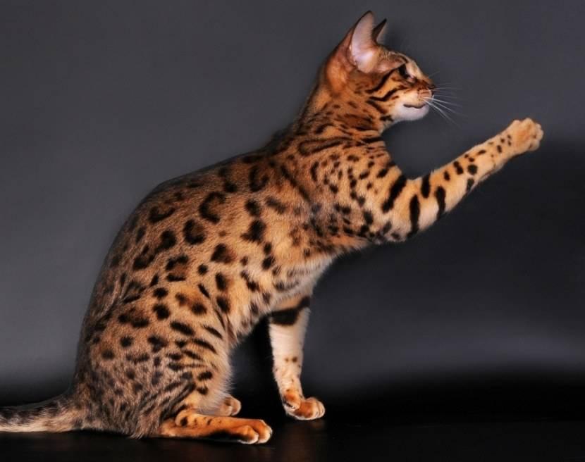 Самые большие кошки в мире (домашние породы и дикие): фото и описание