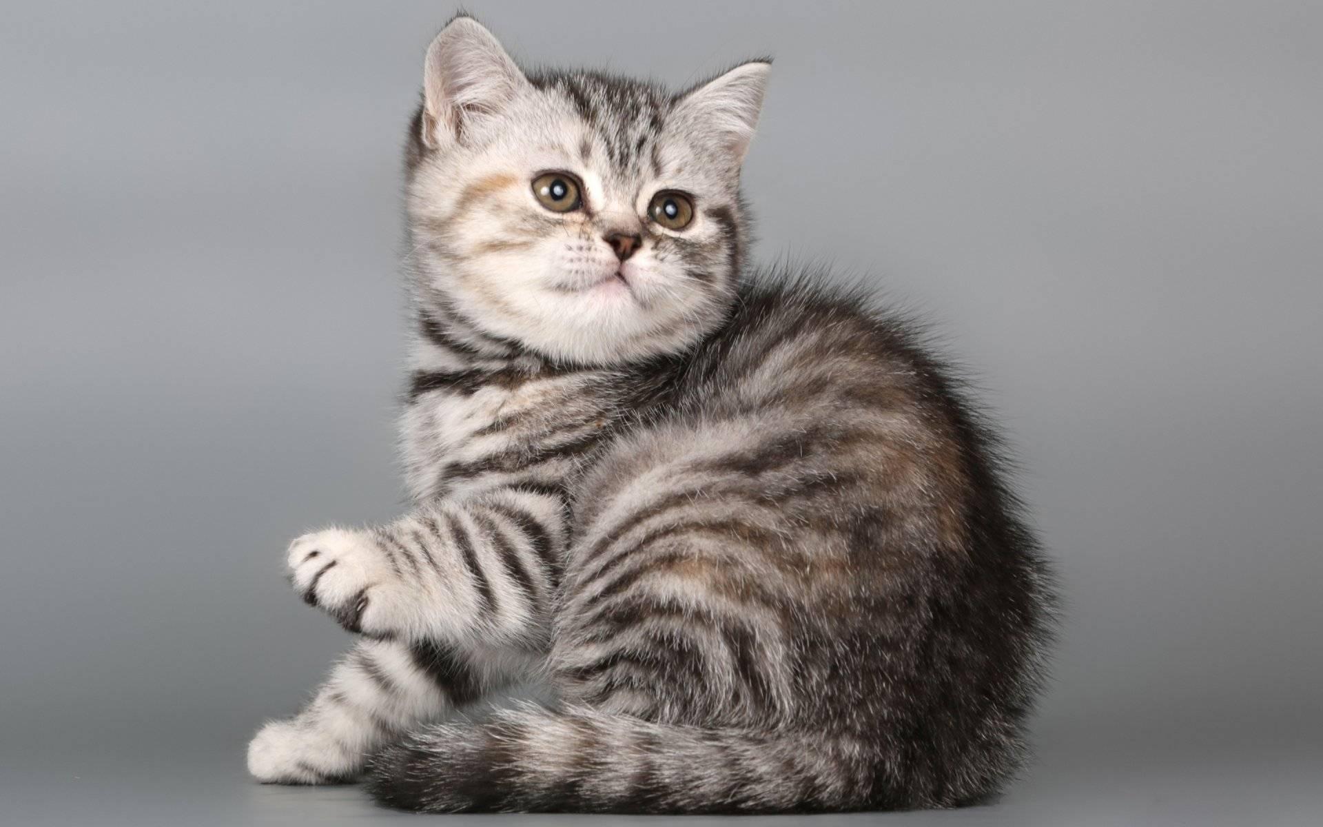 Что за порода кошки в рекламе вискас. порода кошек из рекламы «вискас. история успеха сердитой кошки