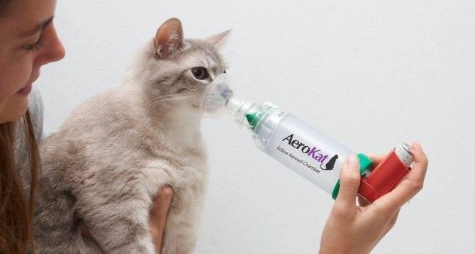 Астма у кошек: причины, диагностика, лечение