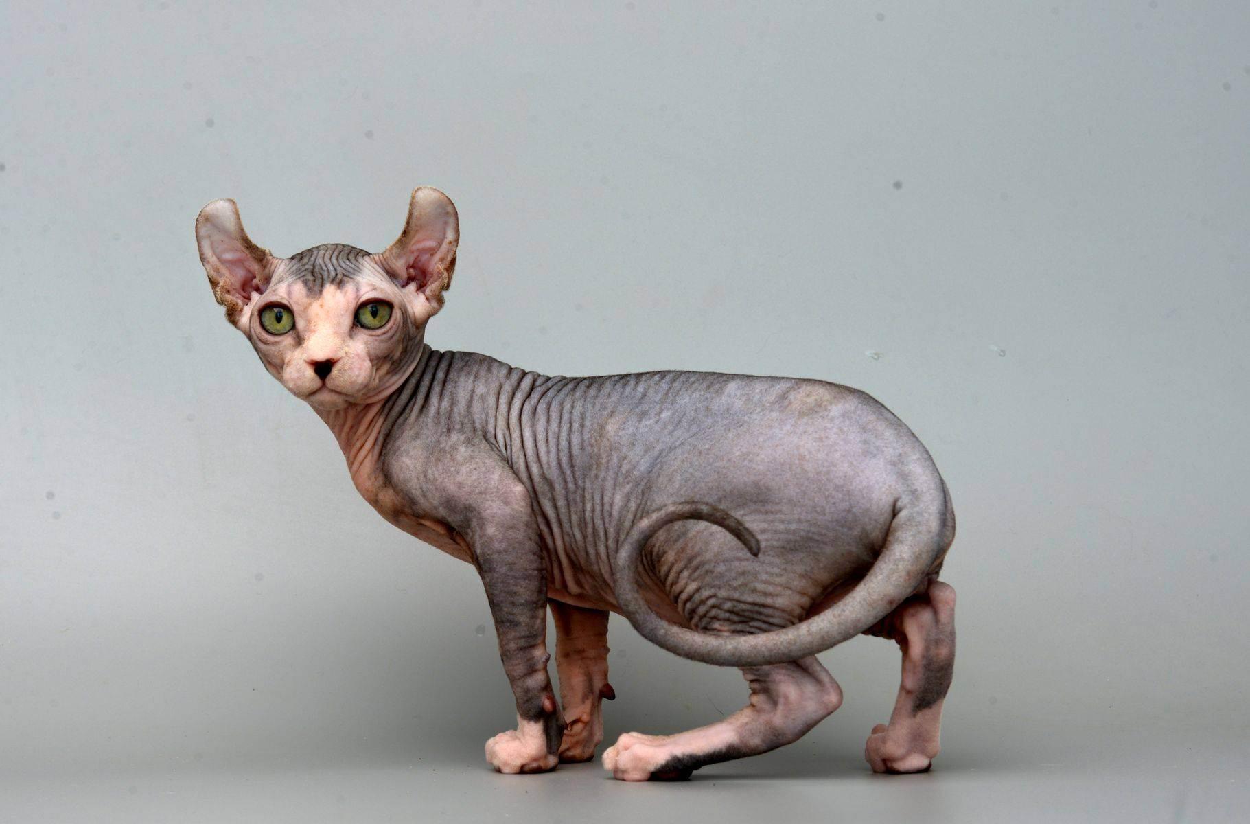 Самые необычные породы кошек: описание и фотографии