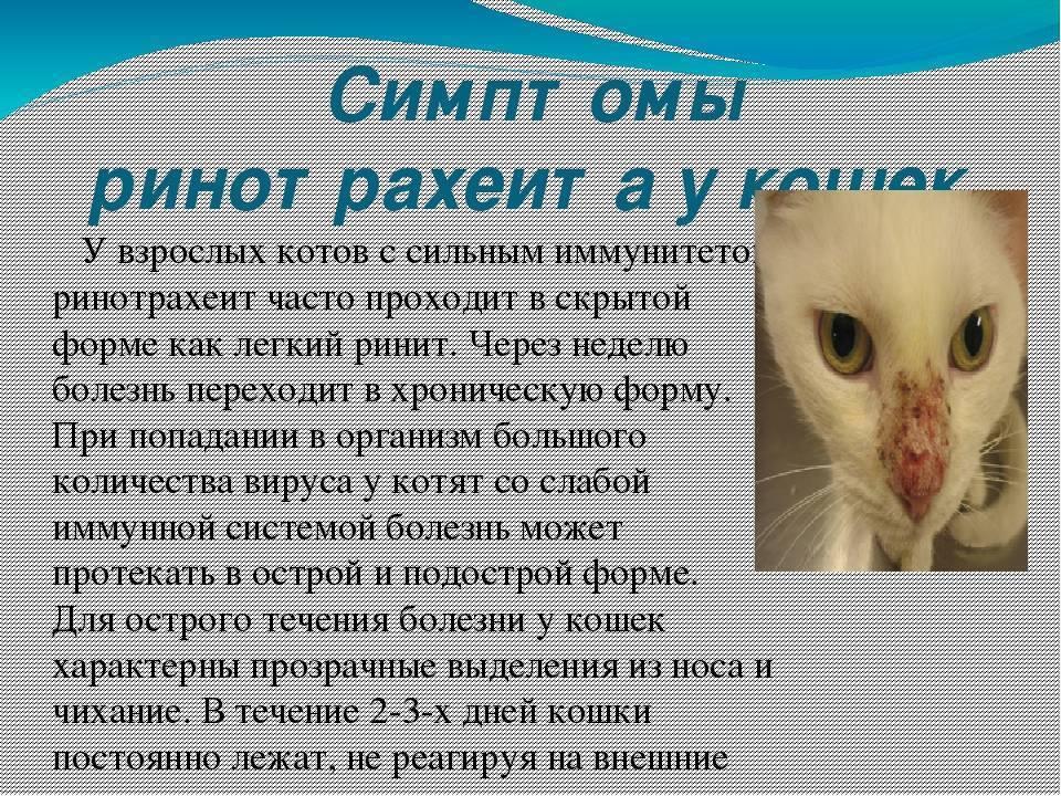 Причины возникновения ринотрахеита у кошек, симптомы и лечение в домашних условиях