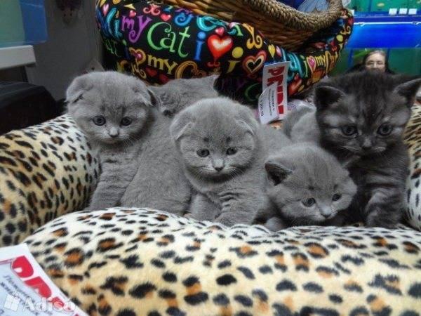 Шотландская вислоухая кошка беременность продолжительность и роды