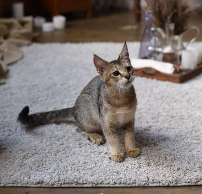 Кошка чаузи, фото и описание породы, характер и темперамент, питомник породистых котят