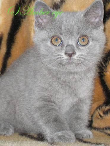 Окрасы британских кошек: таблица с фото