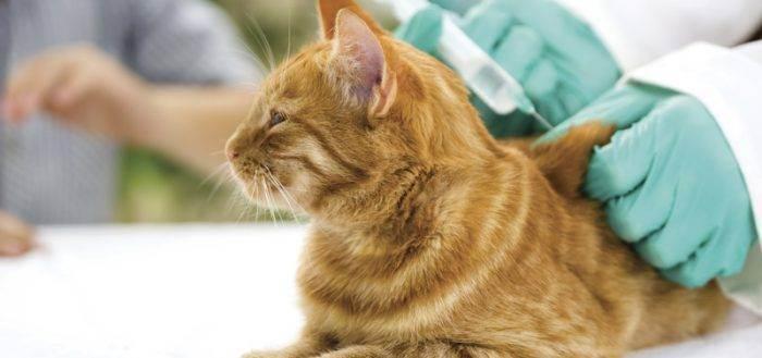 Последствия и осложнения вакцинации кошек. осложнения у кошек после прививки кота рвет после прививки нобивак