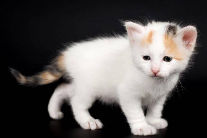 Турецкий ван: фото кошек данной породы и их описание