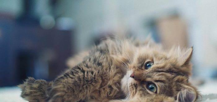 Обзор эффективных снотворных средств для кошек, отзывы
