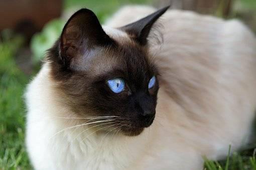 Сиамская кошка описание породы и характера, сколько живут в домашних условиях