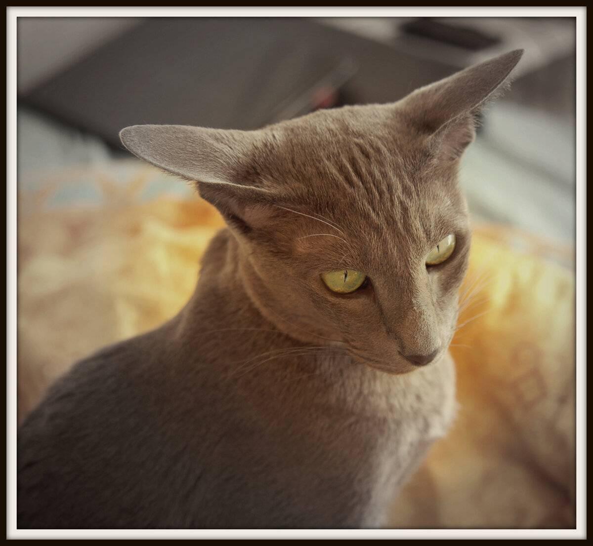 Кошка шипит на хозяина, чужих людей или определенного человека: почему это происходит и что делать?