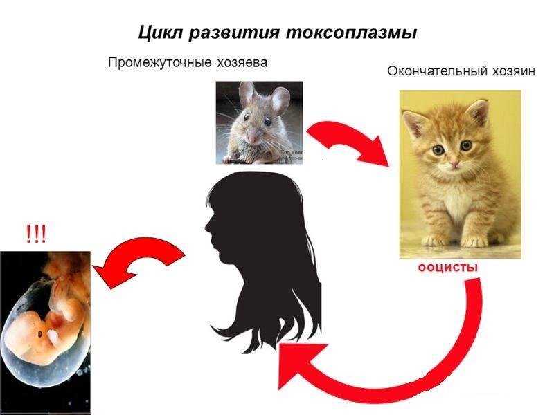 Как можно заразиться токсоплазмозом от кошки?