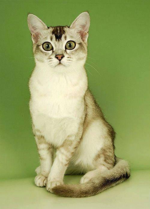 Бурманская кошка: все о кошке, фото, описание породы, характер, цена