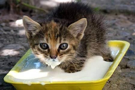 Можно ли кормить британских котят молоком