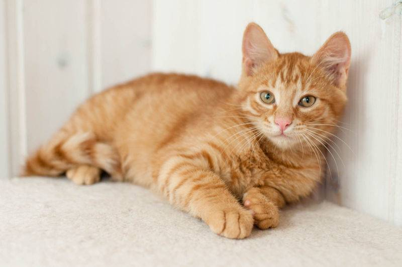 Описание ангорских кошек, их особенности содержания и кормления