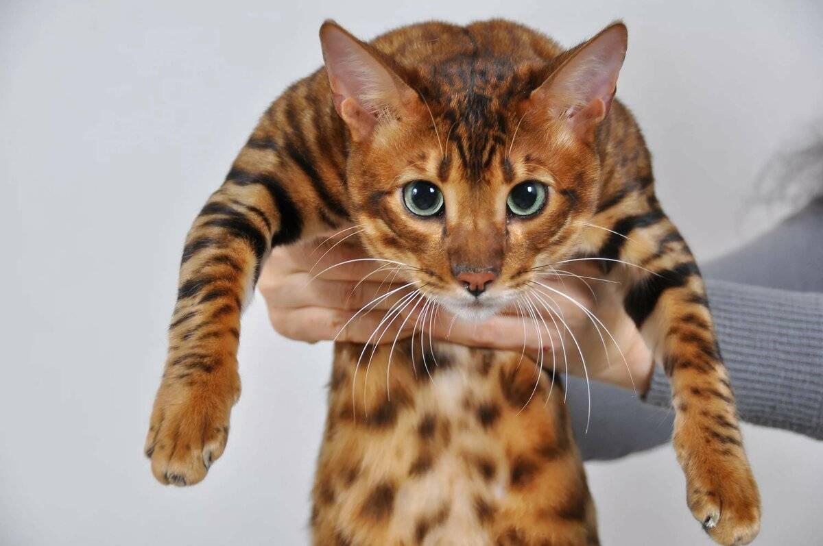 Самые редкие породы кошек в мире с фотографиями и названиями