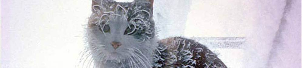 Кошечка зимой. при какой температуре кошки могут жить на улице: какие породы не переносят холода. какие породы кошек не переносят холод - портал медика