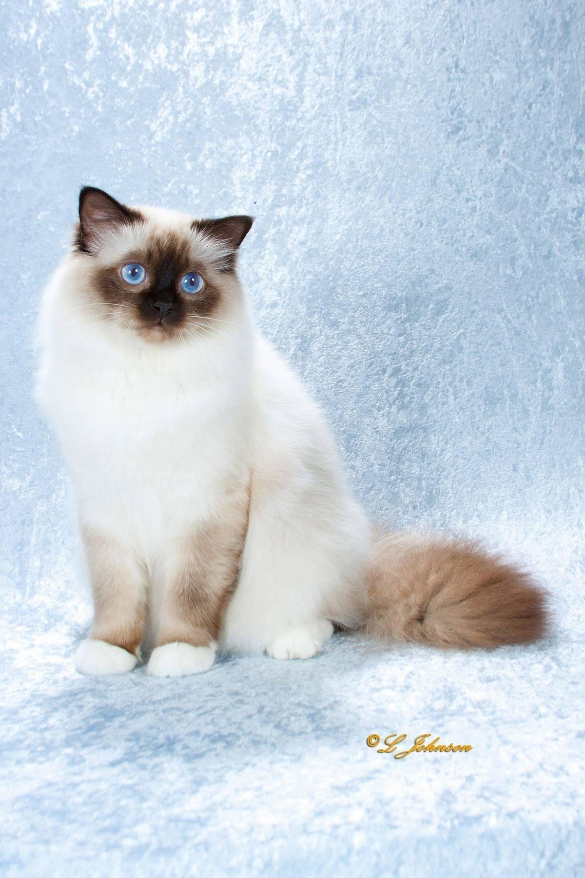Кошка рэгдолл: описание породы, характер, фото, цена котенка