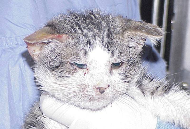 Первые симптомы заболеваний кошек: памятка владельцуветлечебница рос-вет
