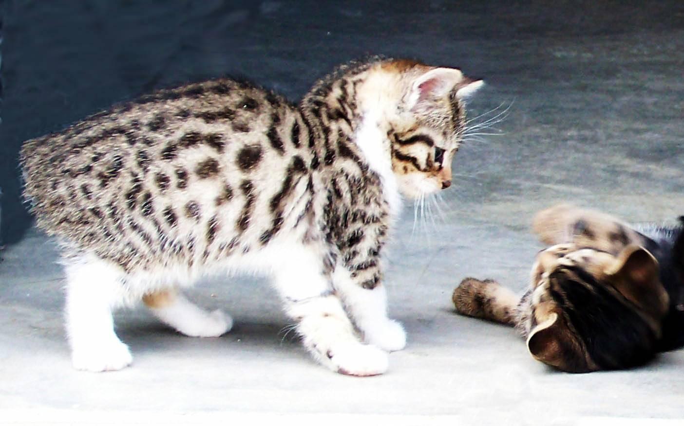 Тонкинская кошка (тонкинез): фото, цена, описание породы, окрасы и характер