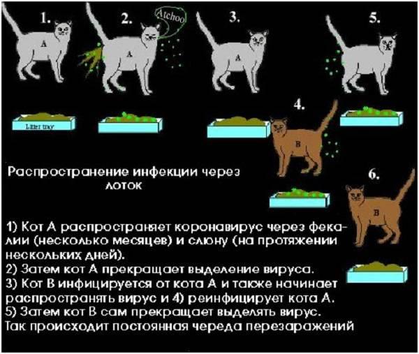 Вакцинация от иммунодефицита кошек. иммунодефицит у кошек передается ли человеку, собакам, от человека. симптомы и проявления иммунодефицита